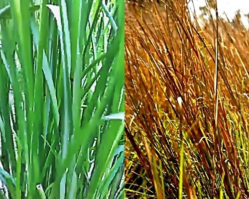 หญ้าแฝก